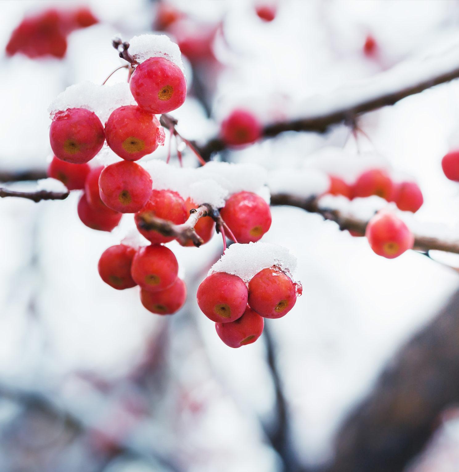 Punaisia marjoja talvisessa puussa
